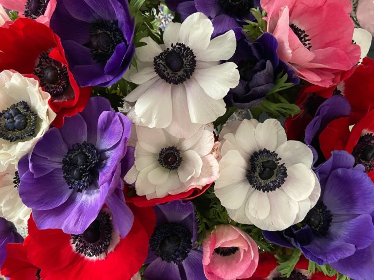 purple, white, red and pink anemone mistral flowers
