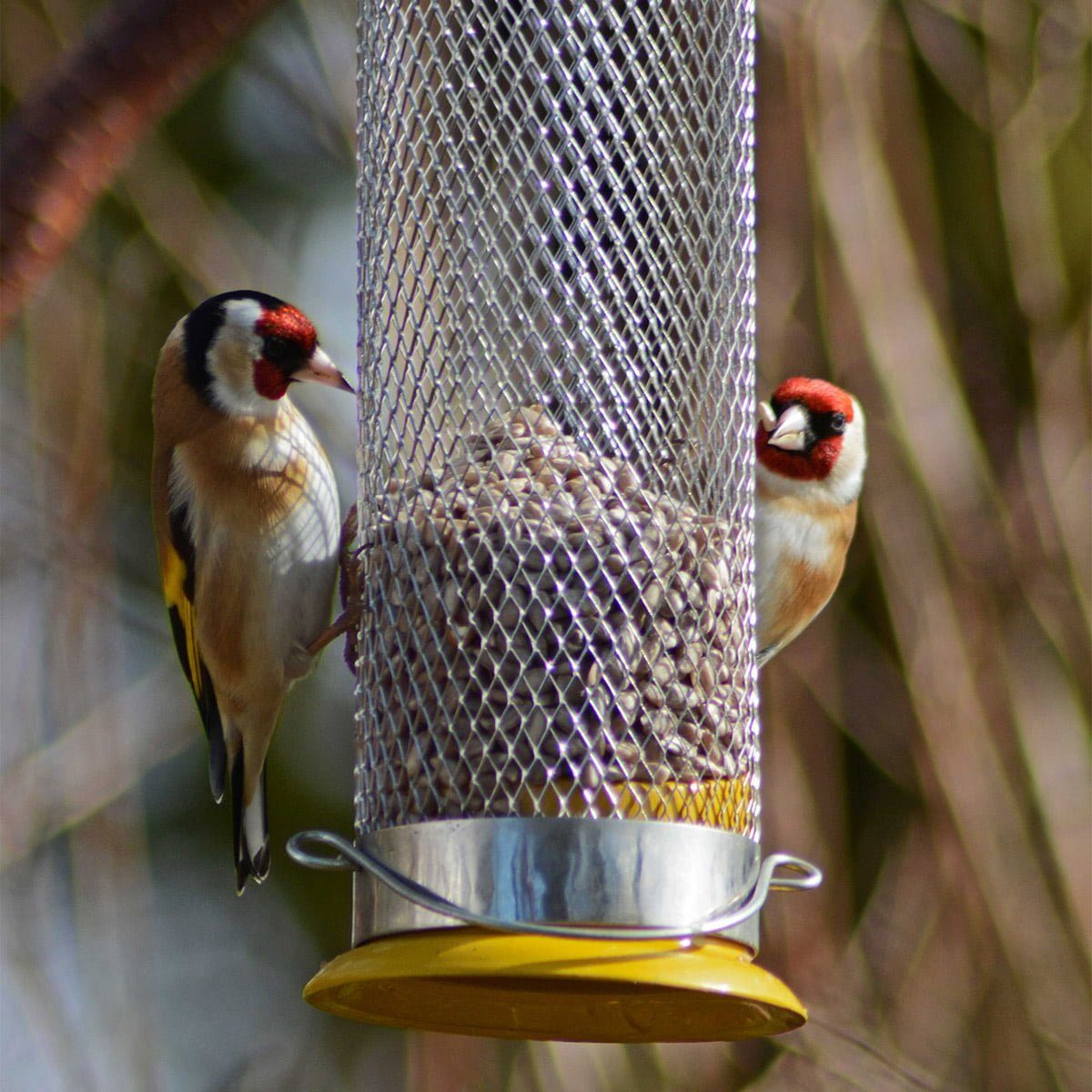 two goldfinches eating sunflower hearts from hanging feeder