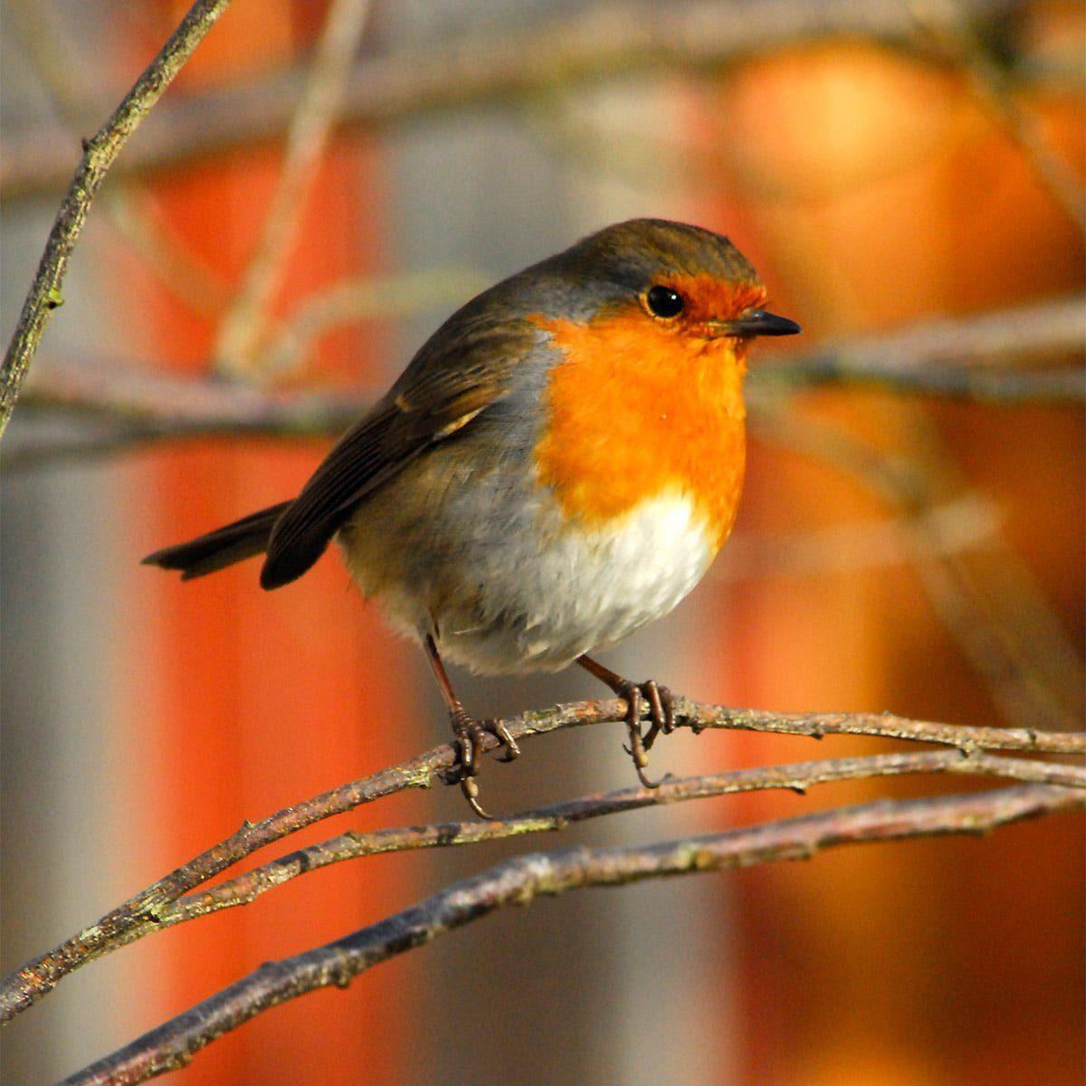 robin resting on branch in winter