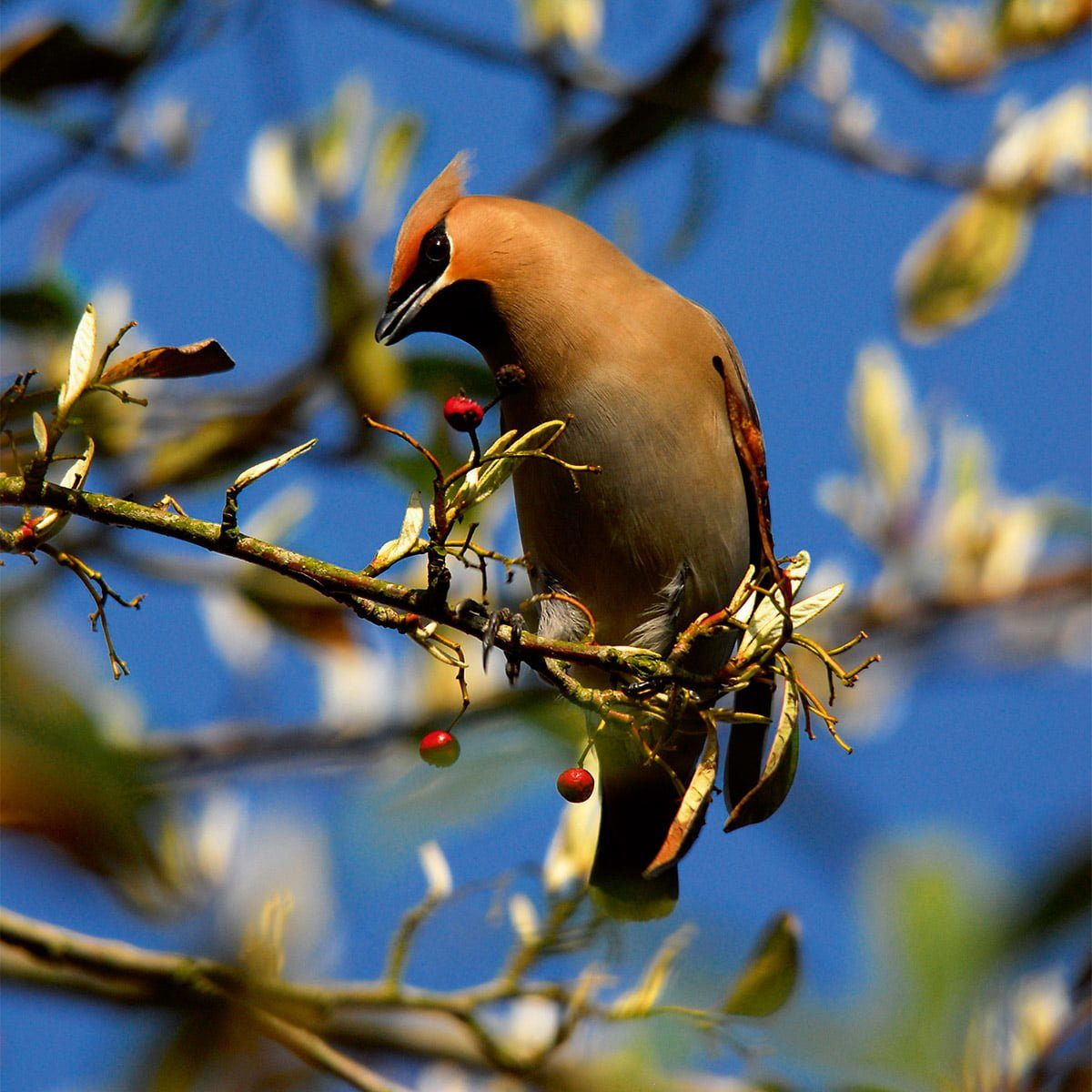 Waxwing resting on branch eating red berries