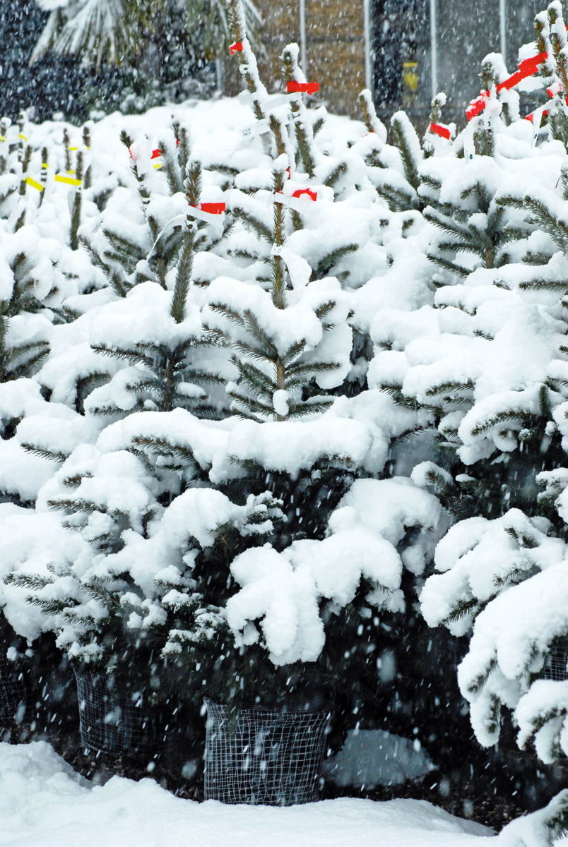 potted Christmas trees in the snow