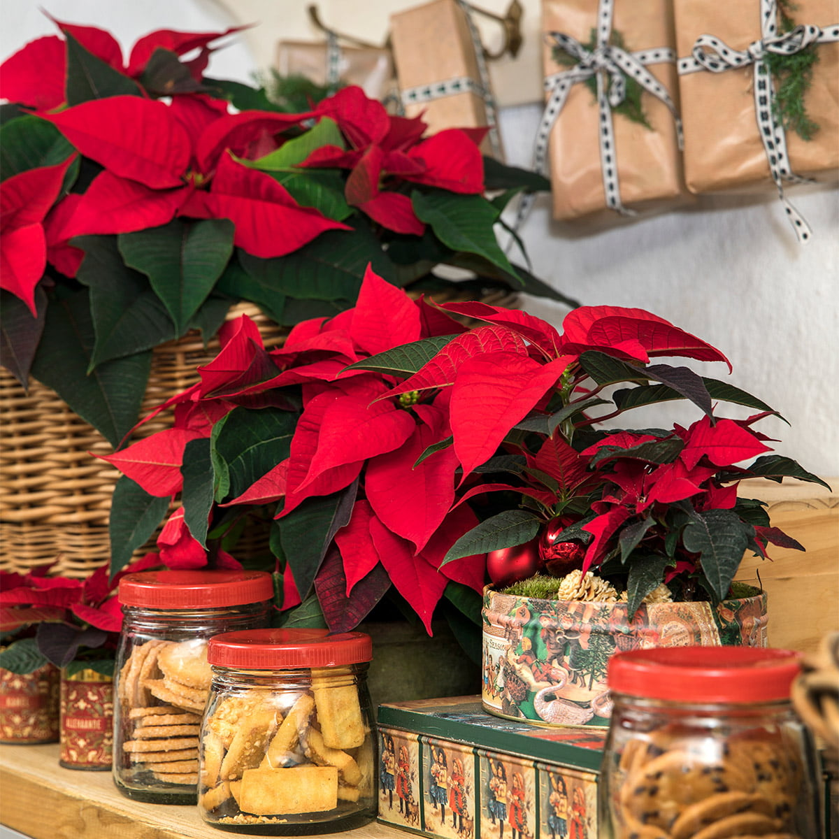 jars of biscuits and poinsettia plants on shelf