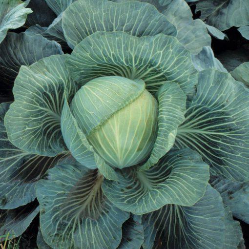 cabbage kilaton