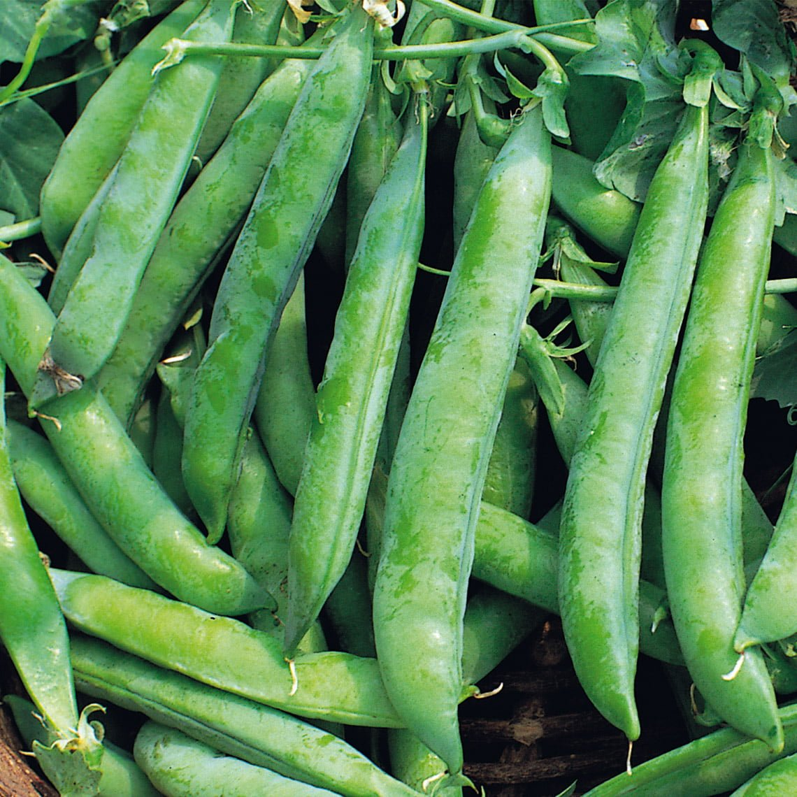 Kelvedon wonder peas