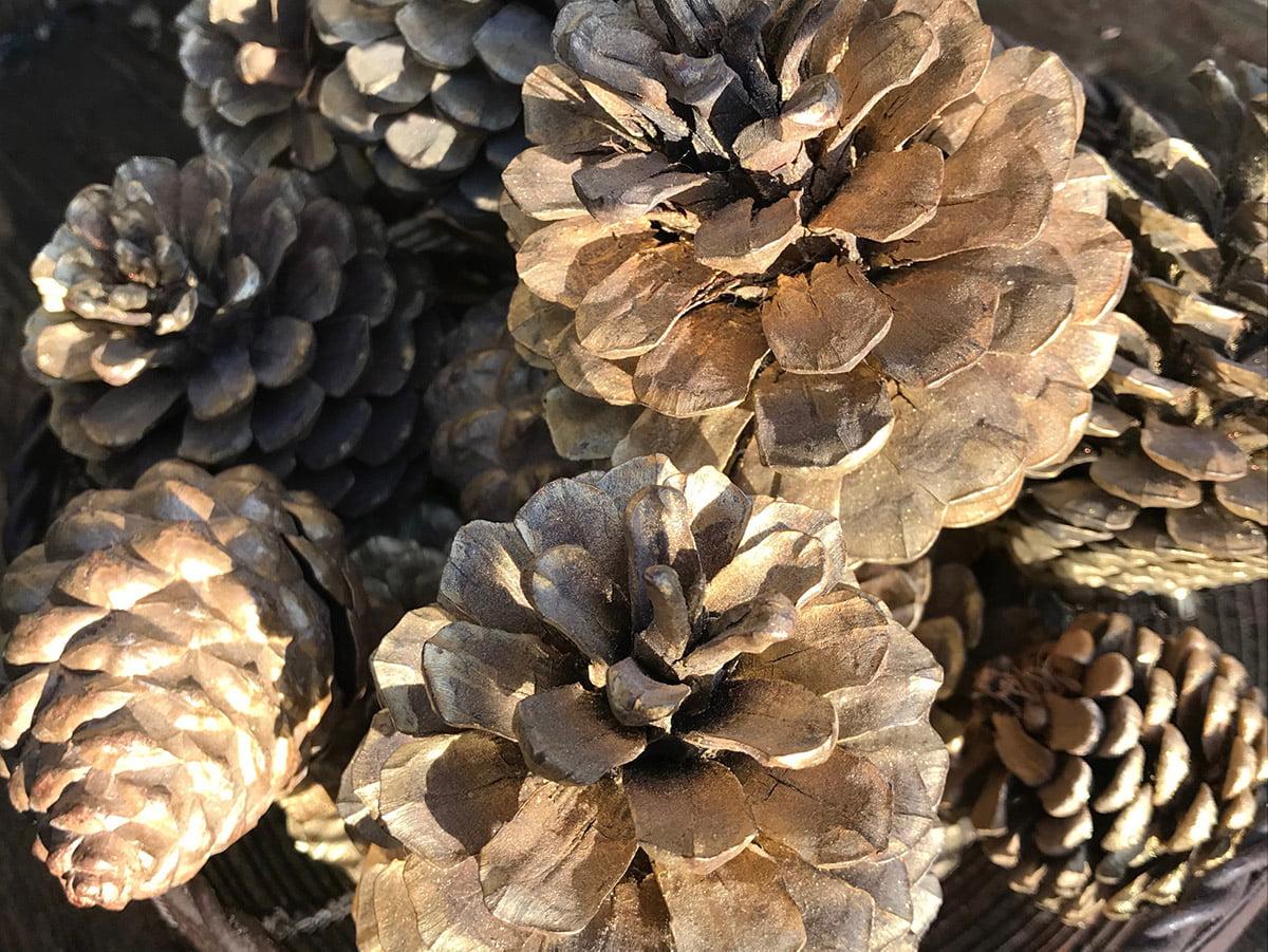 fir cones sprayed gold