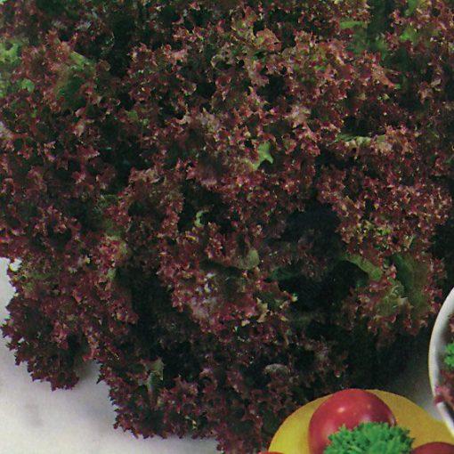 close up of lettuce lolla Rossa