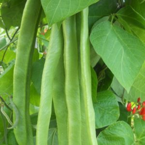 close up of runner beans growing