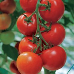 close up pic of tomato Shirley fruits hanging on the vine