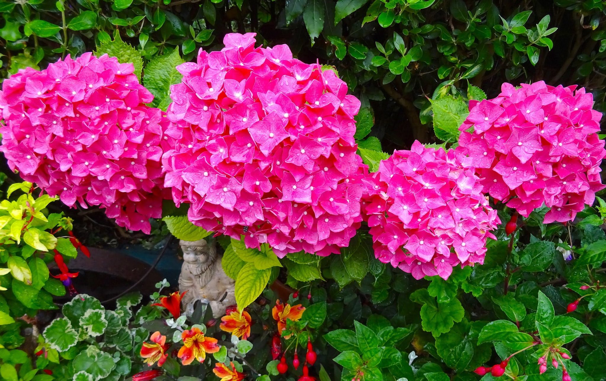 pink flowers of hydrangea Red Baron