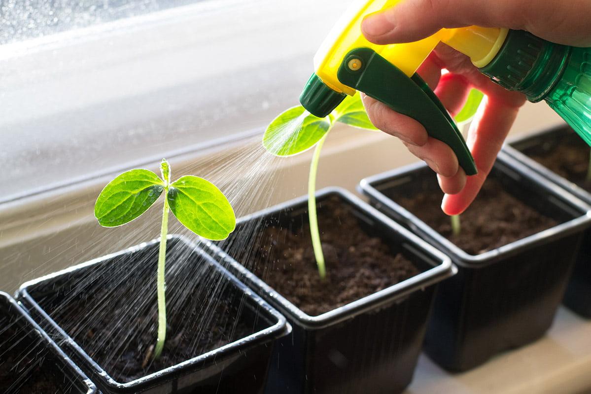 watering seedlings with hand sprayer