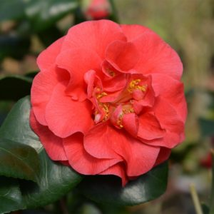 Camellia Lady Campbell