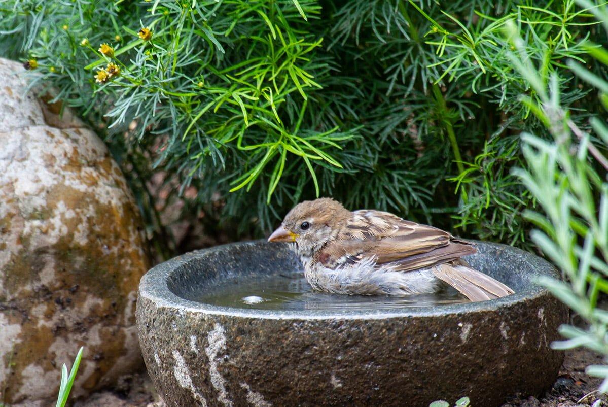 sparrow bathing in stone bath