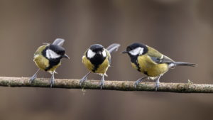 three great tits on branch