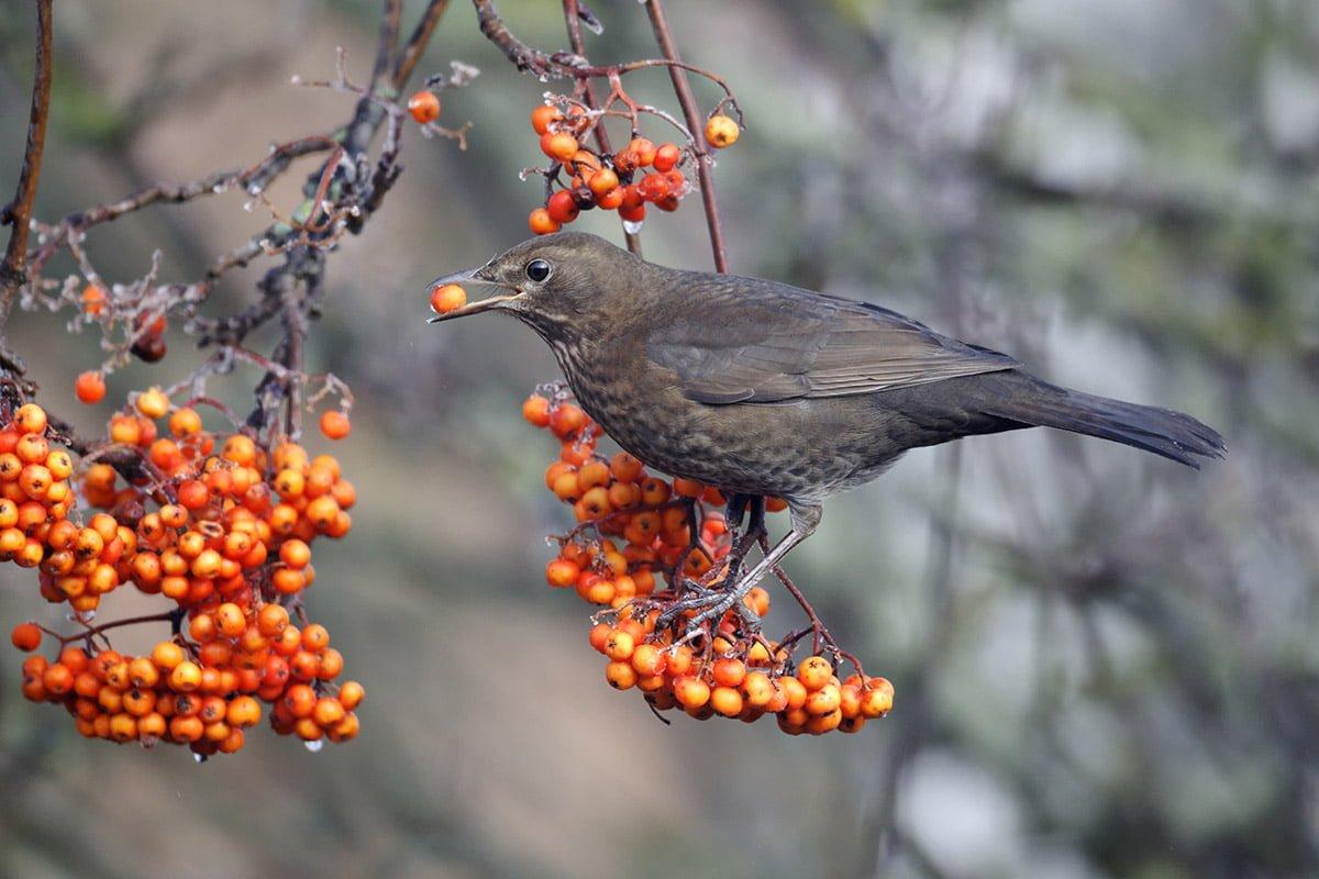thrush eating berries from tree