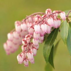 flowers of Pieris Katsura