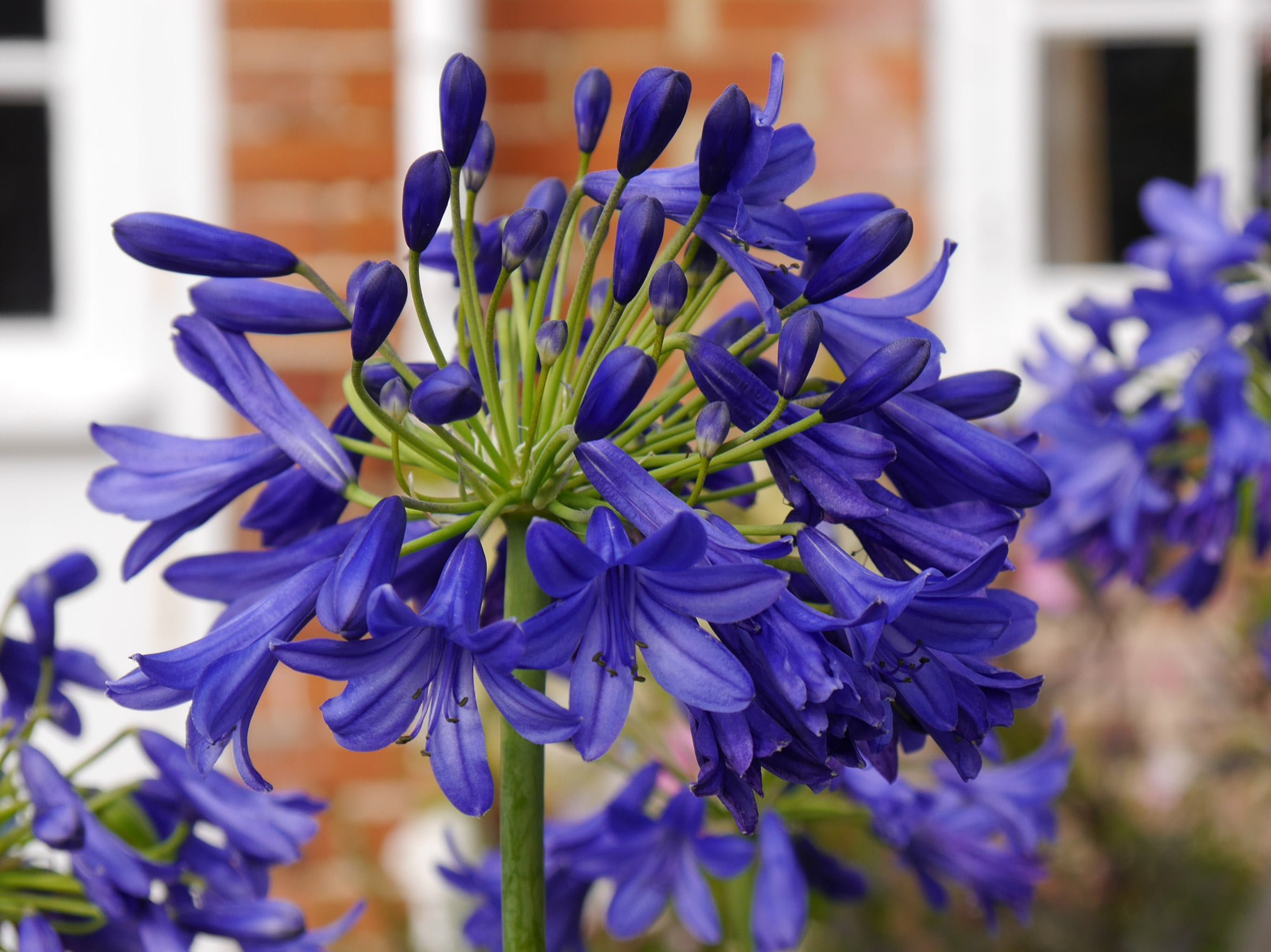 Stand out plants: Agapanthus