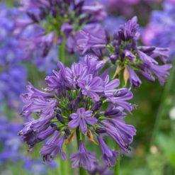 Agapanthus Purple Delight