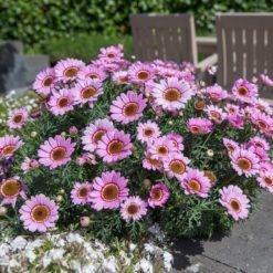 Argyranthemum Grandaisy Pink