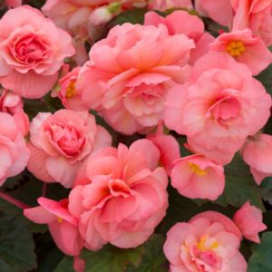Begonia Sweet Spice English Rose