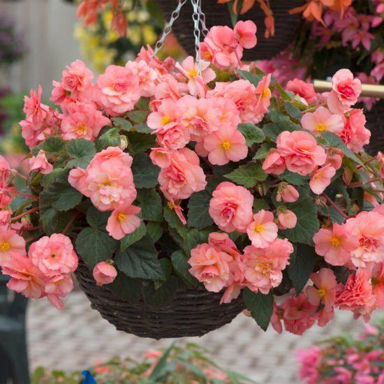Begonia Sweet Spice English Rose