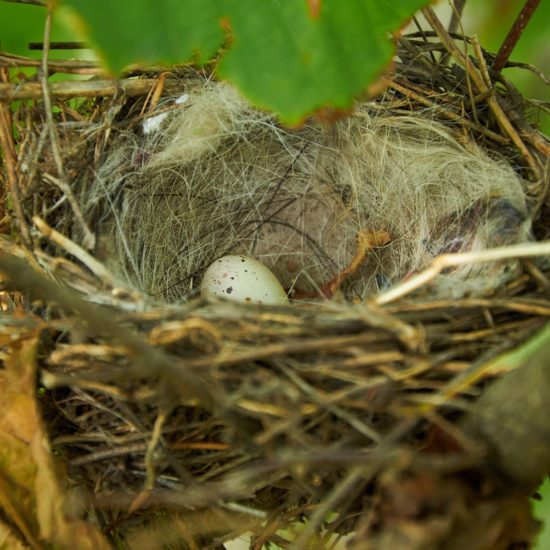 bird nest with egg and lined with wool