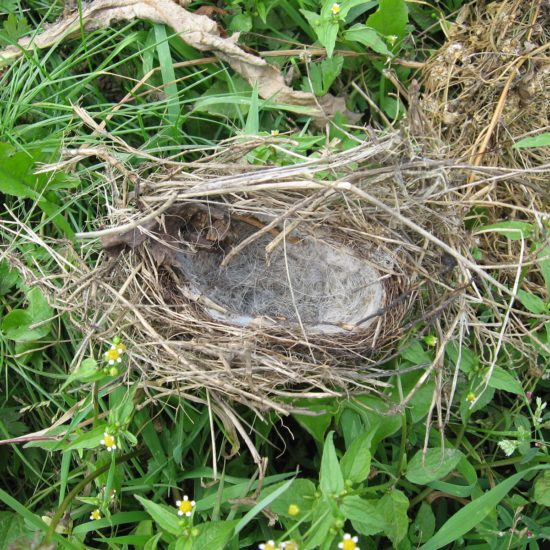 bird nest lined with wool