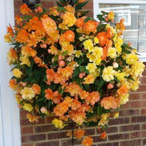 Begonia Apricot Shades Customer Pic