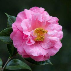 Camellia Dr King
