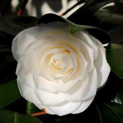 Camellia Golden Anniversary