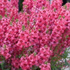 Diascia Aurora Dark Pink