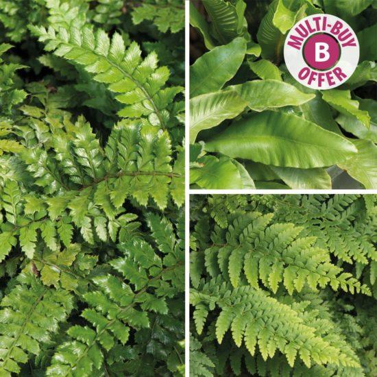 Evergreen Ferns