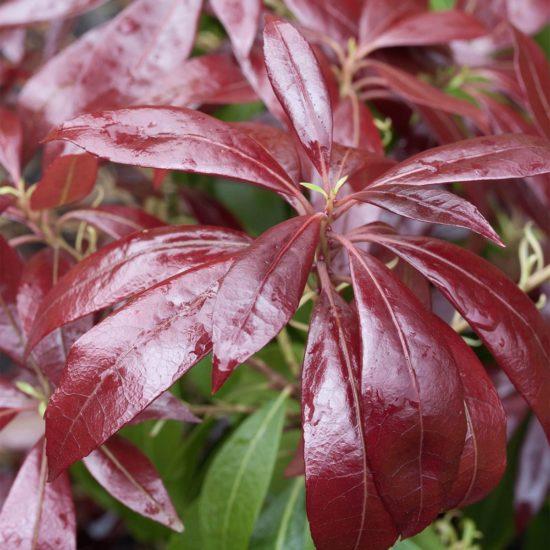 red leaves of Pieris Katsura