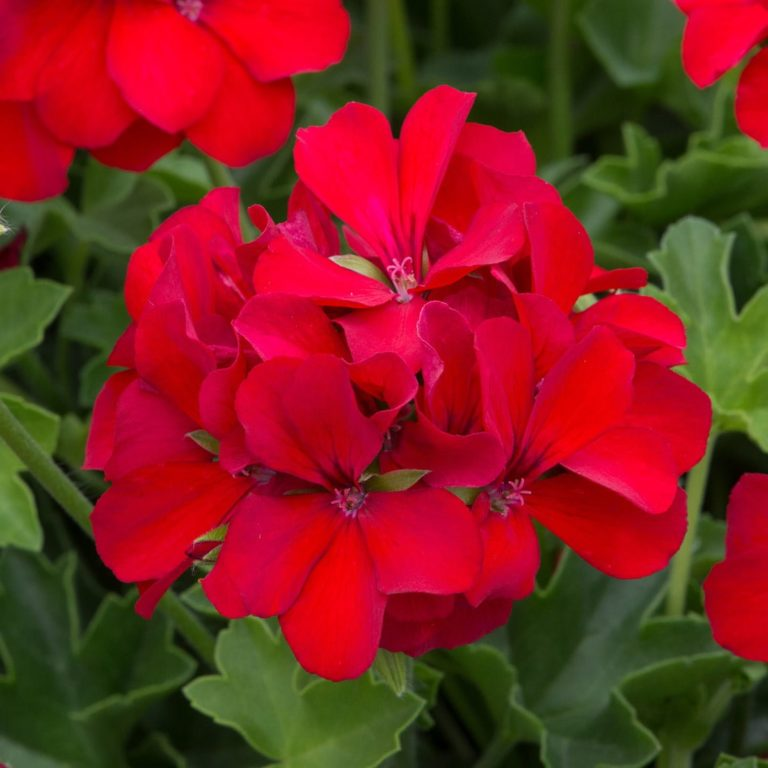 Geranium Marcada Dark Red