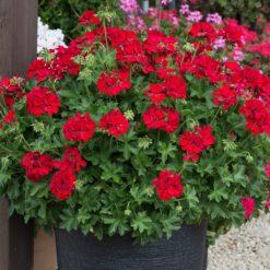 Geranium Marcada Dark Red
