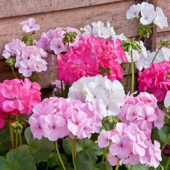 Geranium Candyfloss mixed colours