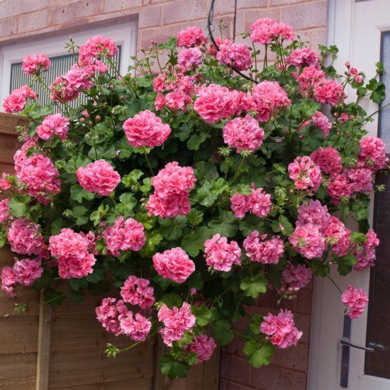 Trailing Geranium Shades of Pink in hanging basket