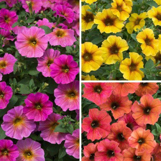Beautiful Petunias Collection