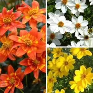 Beautiful Bidens Collection