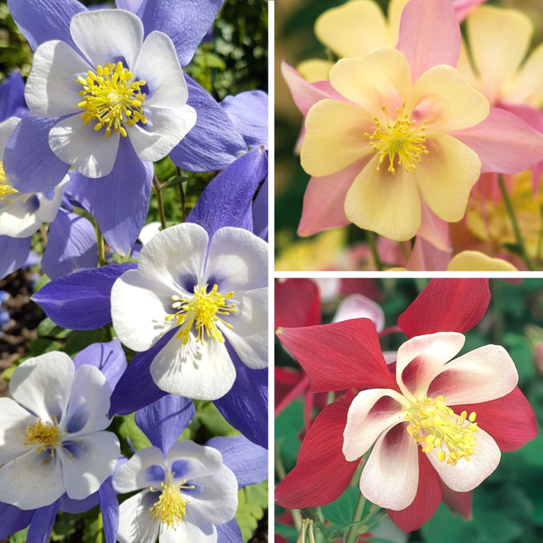 Aquilegia Swan Collection