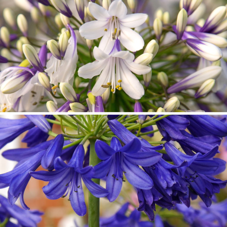 RHS AGM Agapanthus Fireworks Collection