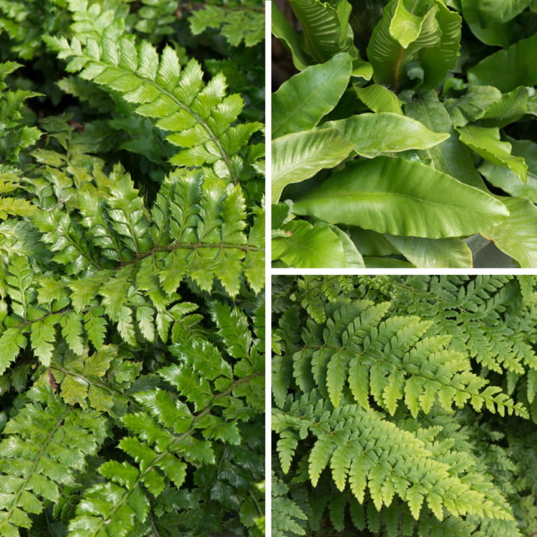 Evergreen Ferns Collection