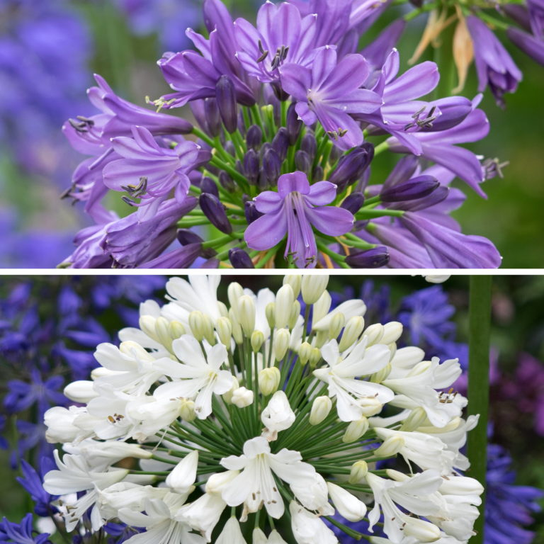 RHS AGM Agapanthus Delight Collection