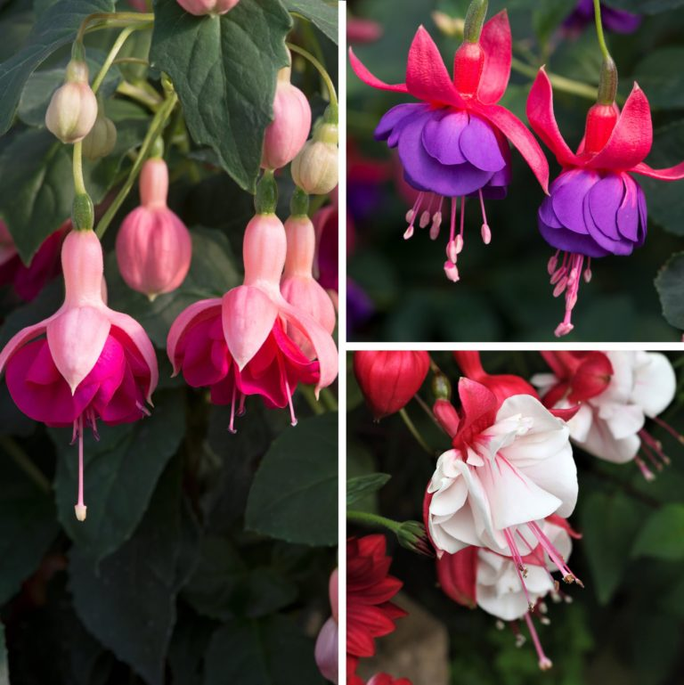 RHS AGM Hardy Fuchsia Collection