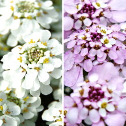 Cool Candytuft Collection