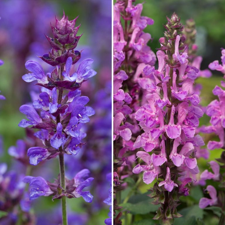 Marvellous Salvias blue and rose