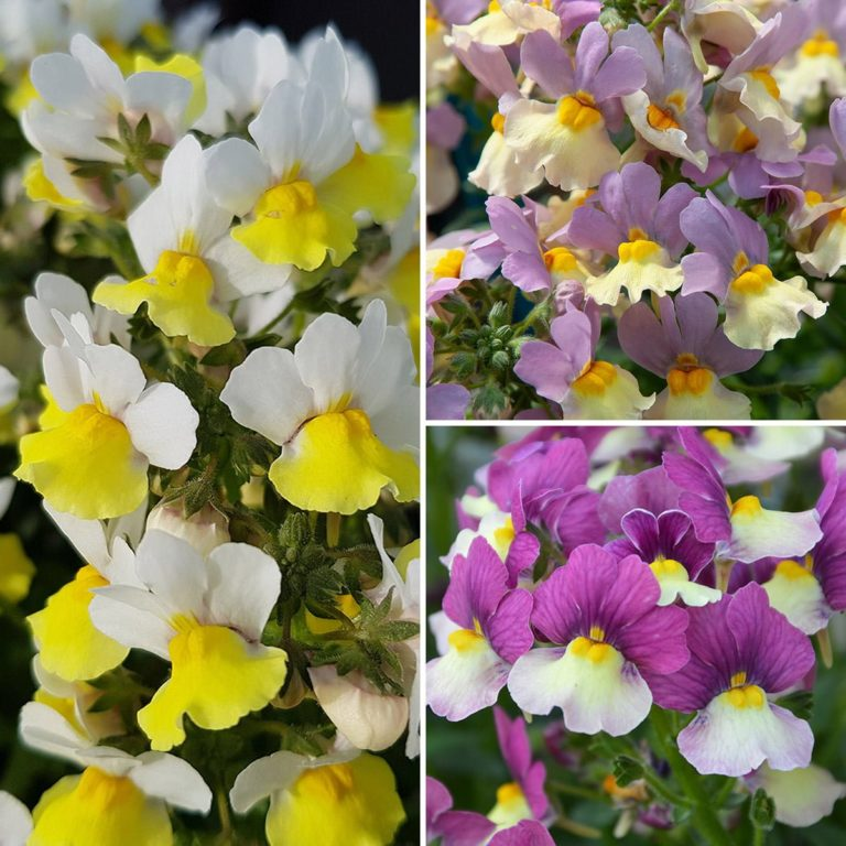 Nemesia Fairy Kisses mixed