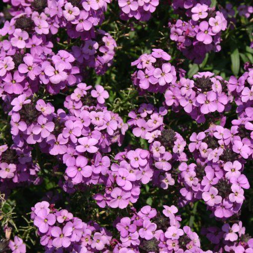 perennial wallflowers
