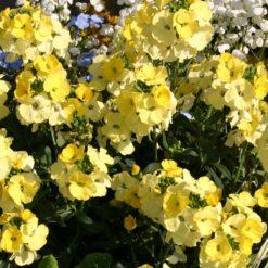 yellow perennial wallflowers