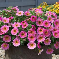 Beautiful Petunia Sunray Pink
