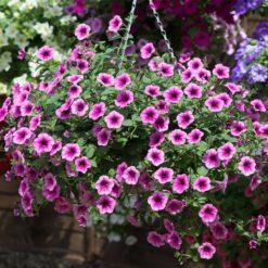 Surfinia Petunia Pink Vein hanging basket